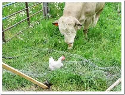 spr08_bull_vs_chicken